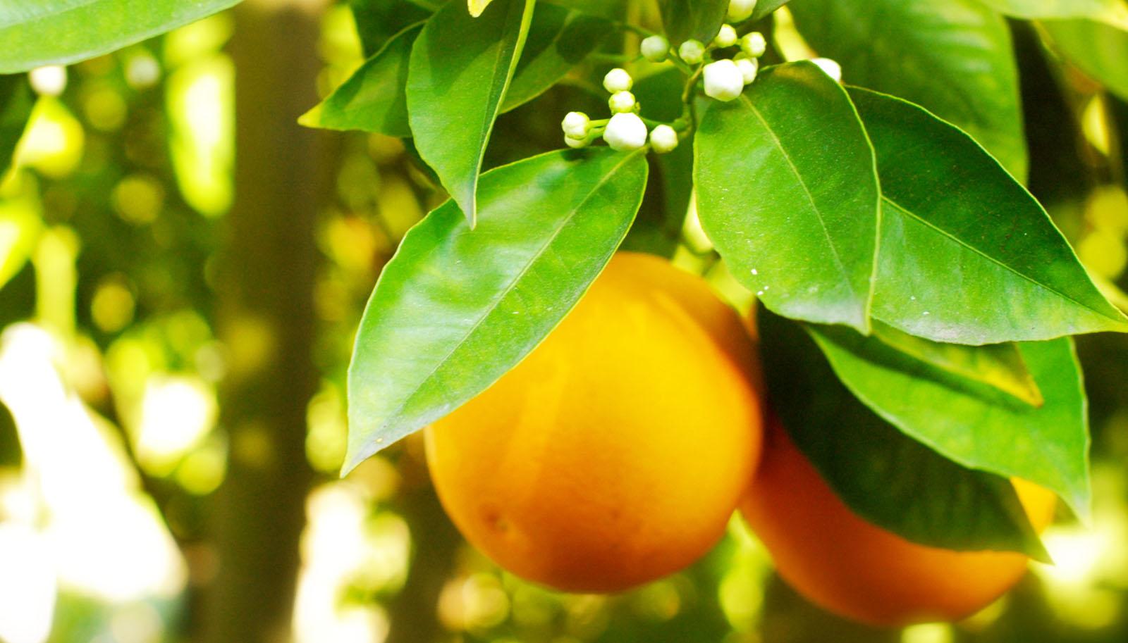 naranjas, orange fruit, Frutéate, Costa de Azahar, exportación de naranjas